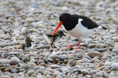 Oystercatcher with chicks on the roof of Harris Academy, Dundee (milnefaefife) Tags: image38100 100xthe2019edition 100x2019 oystercatcher nesting nest chicks chick dundee firthoftay harrisacademy scotland school roof pebbles nature bird birds wildlife wader waders egg coast