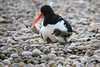 Oystercatcher tidying up the nest on the roof of Harris Academy, Dundee