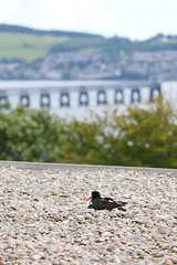 Oystercatchers nesting on the roof of Harris Academy, Dundee (milnefaefife) Tags: image37100 100xthe2019edition 100x2019 oystercatcher nesting nest dundee firthoftay harrisacademy scotland school roof pebbles nature bird birds wildlife wader waders tay tayrailbridge fife sea shore coast wormit trees hills landscape