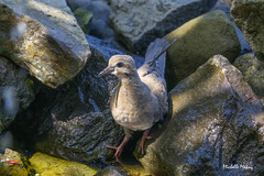 Never mind me... (lamoustique) Tags: mourningdove tourterelletriste zenaidamacroura brushprairie washington usa americanmourningdove