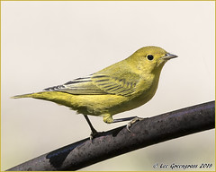 Yellow Warbler (pandatub) Tags: ebparks ebparksok bird birds warbler yellowwarbler ardenwood