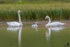 Whooper Swan Family (Osprey-Ian) Tags: whooperswan iceland