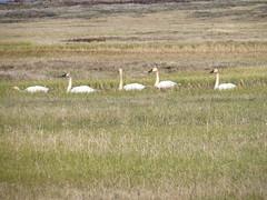 Tundra Swans (Sunsades) Tags: tundraswans barrow alaskatundra sx50 canon