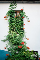 Campsis Radicans (ryanwcurleyphotography) Tags: green summer white spain window laalhambra vine flower andalucia overgrown campsisradicans wall europe orange granada