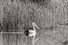 gentle giant on lagoon creek (Fat Burns ☮) Tags: australianpelican blackandwhite nikond750 bird australianbird largebird fauna australianfauna lagooncreek barcaldine queenslandaustralia australianwildlife wildlife sigma150600mmf563dgoshsmsports nature outdoors waterbird
