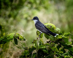 Lord of the Fly (Portraying Life, LLC) Tags: da3004 hd14tc k1mkii michigan pentax ricoh topazaiclear unitedstates bird closecrop handheld nativelighting flycatcher farmland meadow perch kingbird