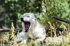 Hungry like the wolf (alanrharris53) Tags: wolf yellowstone grey gray yawn hungry mammal dog wild