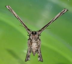 X moth or Y moth Phazaca sp Epipleminae Uraniidae Mandalay rainforest Airlie Beach P1011758 (Steve & Alison1) Tags: x moth or y phazaca sp epipleminae uraniidae mandalay rainforest airlie beach