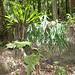 rainforest ferns with Birds Nest Fern (Asplenium australasicum at left)