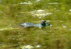 Tuesday's frog (EcoSnake) Tags: americanbullfrog lithogatescatesbeiana frogs amphibians summer august wildlife water idahofishandgame naturecenter