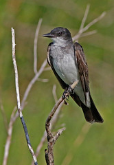 Eastern Kingbird (1krispy1) Tags: flycatchers kingbirds easternkingbird