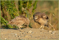 Me Me Me 2141 (maguire33@verizon.net) Tags: athenecunicularia bird bug burrowingowl figeaterbeetle insect owl owlet wildlife
