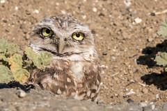 Big Eyed Burrowing Owl (MelRoseJ) Tags: woodland california unitedstatesofamerica sonyalpha sony sonyilca77m2 sal70200g nature northerncalifornia owl borrowingowl