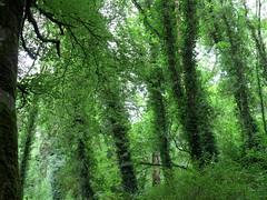 (HWSH) Tags: trees ireland nature green jungle knockma forest wald bäume