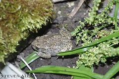 Female midwife toad (Steve Allain) Tags: amphibian toads toad midwife alytes british wildlife nature cambridge