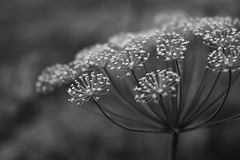 (decemberGirl.) Tags: dill nature apiaceae umbelliferae helios44m blackandwhite monochrome flowers