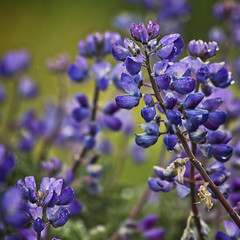Lupines (Patrick Gregerson) Tags: california flowers vacation outside outdoors coast may pacificocean bodegabay 2017 canon5dmarkiv blue green closeup purple lavender canonef70200mmf4llens