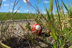 Dropped Red Ball (Bracus Triticum) Tags: dropped red ball calgary カルガリー アルバータ州 alberta canada カナダ 7月 七月 文月 shichigatsu fumizuki bookmonth 2019 reiwa summer july