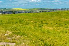 Summer Calgary Canola Landscape (Bracus Triticum) Tags: summer calgary canola landscape カルガリー アルバータ州 alberta canada カナダ 7月 七月 文月 shichigatsu fumizuki bookmonth 2019 reiwa july