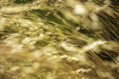 Coastal Wheat Grass 4 (Mabry Campbell) Tags: europe gothenburg göteborg storaamundön amber brown grass image intimatelandscape motion movement nature photo photograph f35 mabrycampbell july 2019 july162019 20190716campbellh6a1196 100mm ¹⁄₈₀₀sec 100 ef100mmf28lmacroisusm