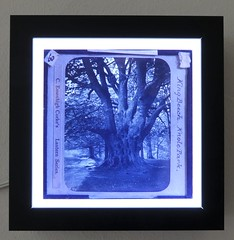 Old Oak (jhitzeman) Tags: glassplate oak tree knole