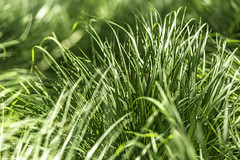 Coastal Grass 3 (Mabry Campbell) Tags: flickrexplore explored explore europe gothenburg göteborg storaamundön grass green image intimatelandscape nature photo photograph texture f35 mabrycampbell july 2019 july162019 20190716campbellh6a1205 100mm ¹⁄₂₅₀sec 100 ef100mmf28lmacroisusm
