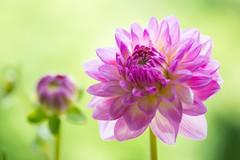 dahlia 3685 (junjiaoyama) Tags: japan flower dahlia plant summer pink bokeh macro