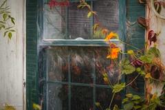Vines & Webs (HWW) (buffdawgus) Tags: california sanmateocountycoast abandoned cascaderanch1862 abandonedranch windowpanes canonef24105mmf4lisusm topazstudio sanmateocounty lightroom6 canon5dmarkiii window