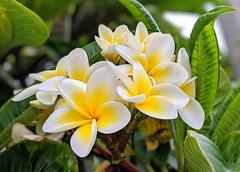 Frangipanis Everywhere (Bennilover) Tags: summer august frangipani leis hawaii mexico caribbean flowers yellow pink white blossoms california plumeria