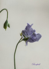 Oh Sweet Pea! (Melnee Benfield) Tags: flower sweetpea nature canon texture