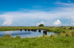 """""""It''s hot out there!"""" Cattle pond - Okeechobee, Florida (superpugger) Tags: cattle pond cow cows summer heatwave cattlepond cattleponds ranch ranchlands ranches prairie floridaprairie outdoors farm farms farming cattleranch florida lpugliares lawrencepugliares"""