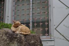 Orange Tabby Cat (Flexible Negativity) Tags: 猫 cat 貓 meow ねこ caturday nuko marmaladetabby pentax orangetabby k70 gingercat redtabby