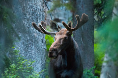 I see you (theskyhawker) Tags: no people animal wildlife moose animals in the wild outdoors one closeup nature utah united states