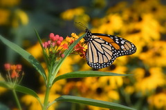 Milkweed on the Menu (KsCattails) Tags: butterfly kansascity kathrynkennedy kauffmanmemorialgarden kscattails milkweed missouri monarch