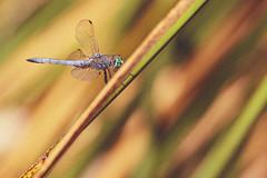 Dragonfly:  western pondhawk (Stephen G Nelson) Tags: insect dragonfly westernpondhawk pond tucson arizona canoneosrebelsl1100d