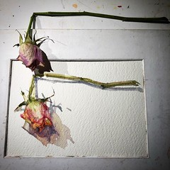 Day 1466. The #rose #painting for today. #watercolour #watercolourakolamble #sketching #stilllife #flower #art #fabrianoartistico #hotpress #paper #dailyproject (akolamble) Tags: rose painting watercolour watercolourakolamble sketching stilllife flower art fabrianoartistico hotpress paper dailyproject