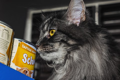 Cat (Noel1603) Tags: cat eyes glowingeyes yelloweyes greycat grey livingroom mainecoon pet adorable curious cute can cans catfood smelling germany