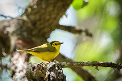 Fort De Soto Park female Hooded Warbler 04-15-2019 (Jerry's Wild Life) Tags: coye florida fortdesoto fortdesotopark ftdesoto ftdesotopark pinellascounty pinellascountypark songbird songbirds warbler femalehoodedwarbler hoodedwarbler explore explored inexplore