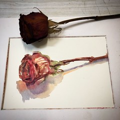 Day 1465. The #rose #painting for today. #watercolour #watercolourakolamble #sketching #stilllife #flower #art #fabrianoartistico #hotpress #paper #dailyproject (akolamble) Tags: rose watercolour painting watercolourakolamble sketching stilllife flower art fabrianoartistico hotpress paper dailyproject
