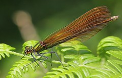 Beautiful Demoiselle -Calopteryx virgo-female - Middlebere Dorset-280719 (10) (Ann Collier Wildlife & General Photographer) Tags: beautifuldemoiselle calopteryxvirgo female middlebere dorset damselflies damselfly insects insect odonata dragonfliesanddamselflies britishdragonfliesanddamselflies macro closeup
