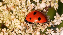 #Bug - 7237 (✵ΨᗩSᗰIᘉᗴ HᗴᘉS✵85 000 000 THXS) Tags: bug coccinelle insect sony sonydscrx10m4 macro red hensyasmine