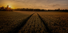 Ripening crop (Peter Leigh50) Tags: leicestershire farmland field wheat sunset insect sky skyscape landscape landschaft fujifilm fuji farming xt2