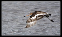 BLACK TAILED GODWIT (PHOTOGRAPHY STARTS WITH P.H.) Tags: nikon d500 200500mm afs vr black hole marsh seaton devon