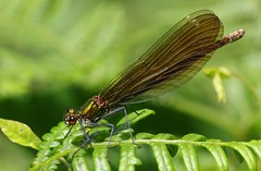 Beautiful Demoiselle -Calopteryx virgo-female - Middlebere Dorset-280719 (3) (Ann Collier Wildlife & General Photographer) Tags: beautifuldemoiselle calopteryxvirgo female middlebere dorset damselflies damselfly insects insect odonata dragonfliesanddamselflies britishdragonfliesanddamselflies macro closeup