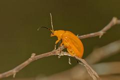 Yellow Orchid Beetle (scubahenlik) Tags: beetle coleoptera chrysomelidae insect baanmaka nature kaengkrachan thailand