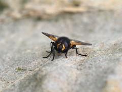M2291331-M2291333 DMap 2 E-M1ii 150mm iso250 f8 1_250s 0.3 (Mel Stephens) Tags: 20190729 201907 2019 q3 4x3 wide olympus mzuiko mft microfourthirds m43 40150mm omd em1ii ii mirrorless gps uk scotland st monans fife animal animals nature wildlife fauna insect fly