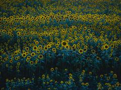 PhoTones Works #11913 (TAKUMA KIMURA) Tags: photones olympus omd em1x takuma kimura 木村琢磨 木村 琢磨 風景 景色 自然 ひまわり 向日葵 ヒマワリ 花 植物 蒜山 岡山 日本 landscape nature snap flower sunflower sunset hiruzen japan okayama