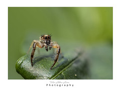 Need ID / (T@hir'S Photography) Tags: nature spider jumping garden closeup macro nikon d500 105mm