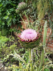 Flower/Thistle (daveandlyn1) Tags: erddig nationaltrust garden cardoon artichoke boarderflower pralx1 p8lite2017 huaweip8 smartphone psdigitalcamera cameraphone