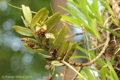 IMG_3499 Calyptrochilum christyanum (Raiwen) Tags: calyptrochilum calyptrochilumchristyanum orchidaceae orchid plant flora africa guinea westafrica guinéemaritime